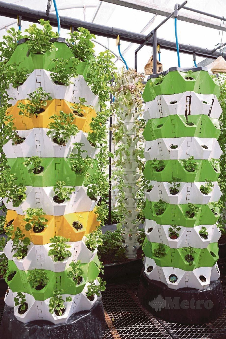 TANAMAN sayuran ditanam di ruang seakan-akan menara dan di bawahnya ruang ternakan ikan air tawar.  FOTO Amirudin Sahib