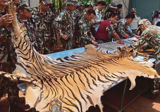 PEGAWAI Taman Negara memeriksa kulit harimau yang dirampas.
