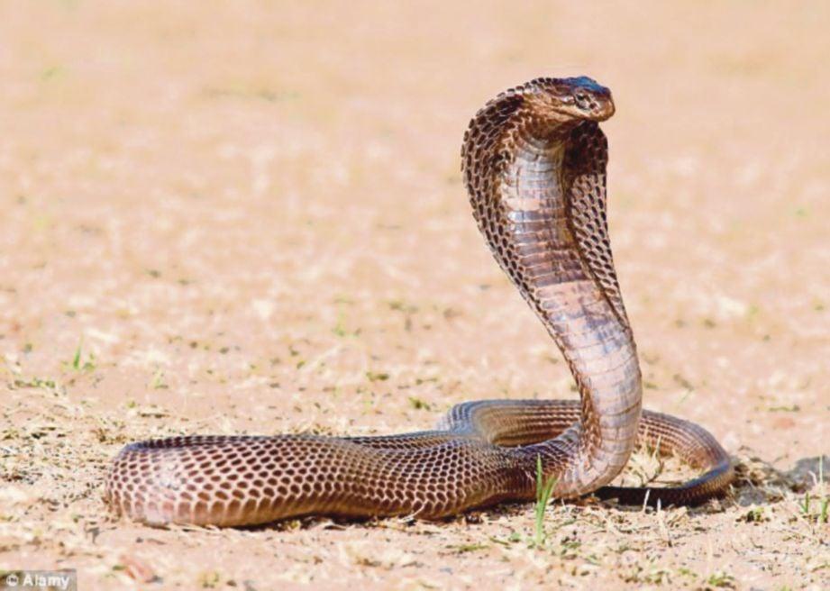 Hasil carian imej untuk ular beracun dalam daging lembu