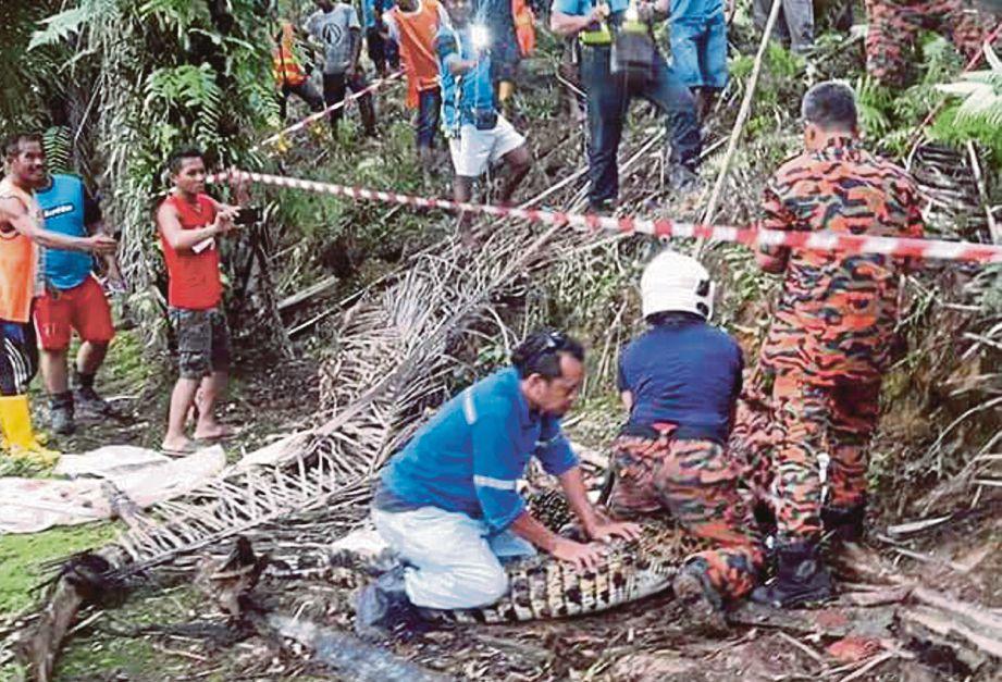 ANGGOTA bomba menangkap buaya di  ladang sawit di Samalaju, kelmarin.