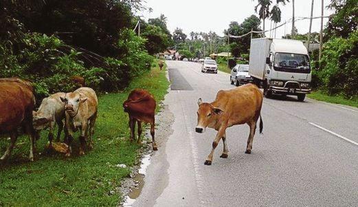 LEMBU berkeliaran di Jalan Kampung Sentul Patah.