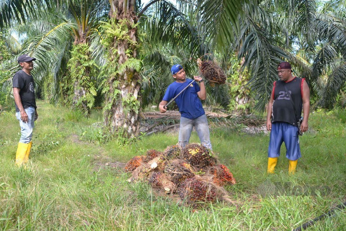 Ramli Omel (kiri) dan Aman Shah Bakhtiar memerhatikan Mohd Adam Khusairi mengumpulkan sawit di kebun kelapa sawit milik penduduk Kampung Jalan Benteng, Kuala Sungai Baru, Masjid Tanah.