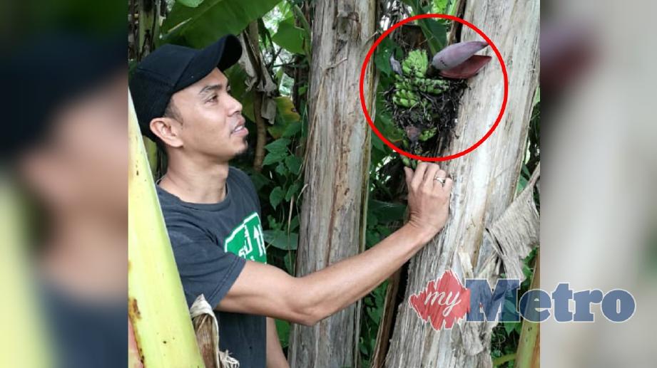 AHMAD Irwandi Ayob melihat setandan pisang awak yang berbuah di tengah batang pokok di Kampung Belukar Mukim Temin. FOTO Mohd Sharumnisham Shahbudin