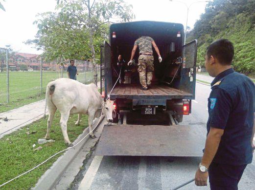ANGGOTA  Penguatkuasa MPKj menjalankan operasi menyita lembu yang berkeliaran di kawasan perumahan di Bandar Sungai Long.
