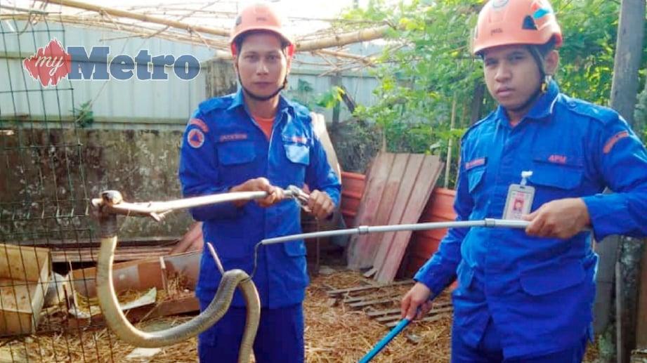 ANGGOTA APM menunjukkan ular tedung selar yang berjaya ditangkap di dalam reban ternakan dalam kejadian di Riam, Miri. FOTO Ihsan APM