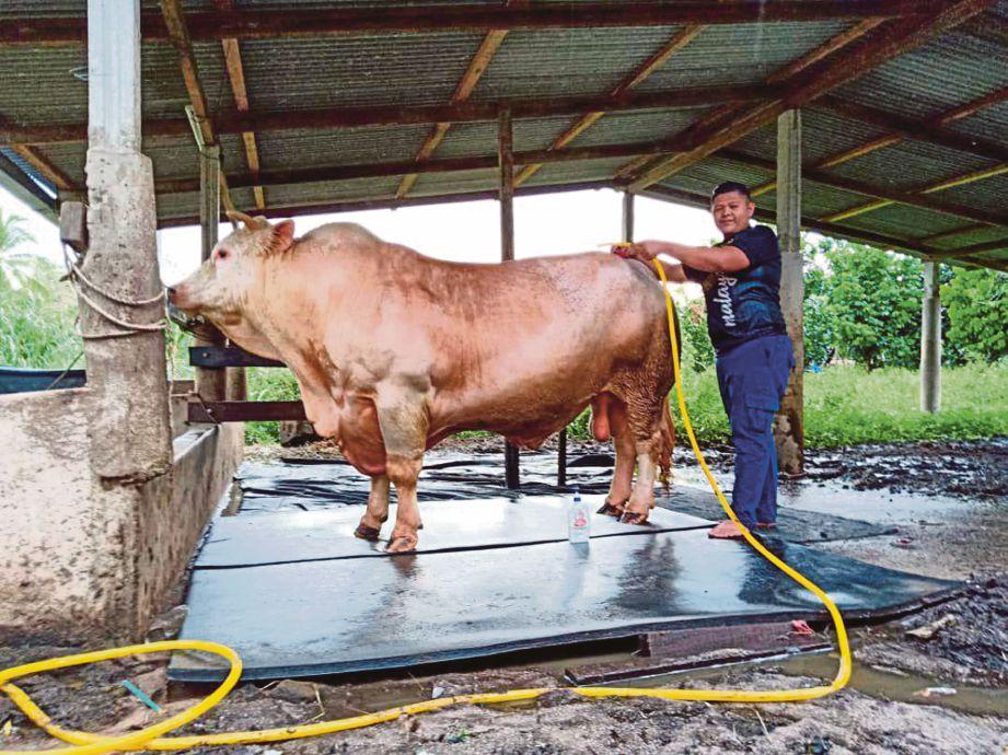 AMIRUL Firdaus memandikan lembu sado baka Charolais yang dipanggil Abu.
