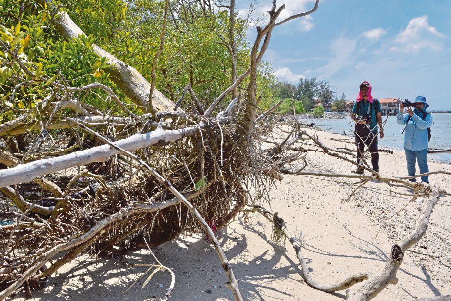 KEADAAN pokok akar tunjang yang musnah dihakis ombak.