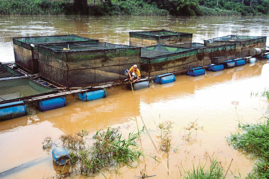 MOHD Ramadhan mengikat sangkarnya sebagai langkah persediaan menghadapi banjir  di Kampung Jerantut Feri.
