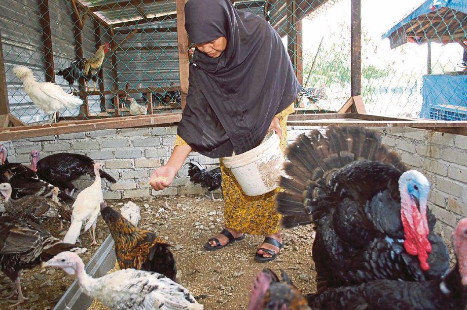 Zainah memberi makanan kepada ternakannya.