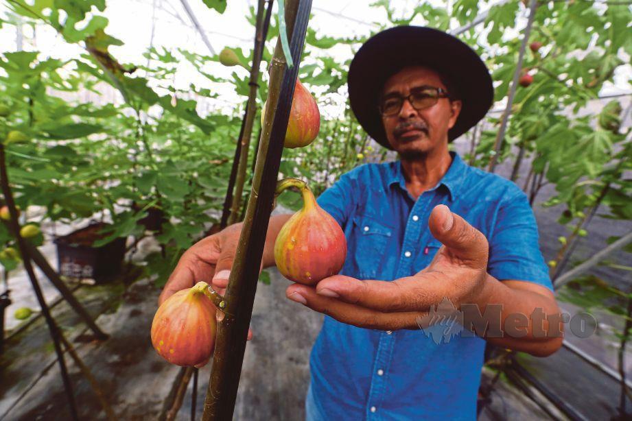 MARZUKI yang mengusahakan tanaman buah tin di Taman Agro Fertigasi, Kajang.