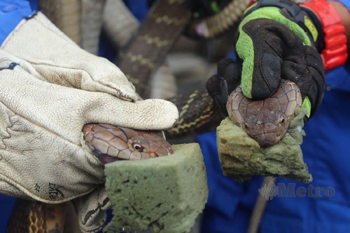 Dua ekor ular berbisa spesis tedung selar atau nama saintifiknya, King Cobra yang ditangkap Angkatan Pertahanan Awam (APM) ketika musim tengkujuh di Pasir Puteh. FOTO Nor Amalina Alias