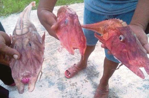 IKAN raksaksa yang ditangkap nelayan.
