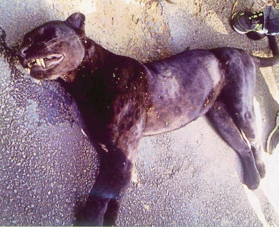 ANTARA haiwan liar yang maut dirempuh kenderaan. - Gambar fail