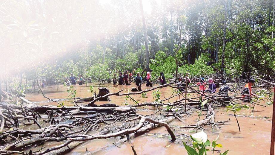 PENUNTUT UTHM menyertai program tanaman semula pokok bakau.