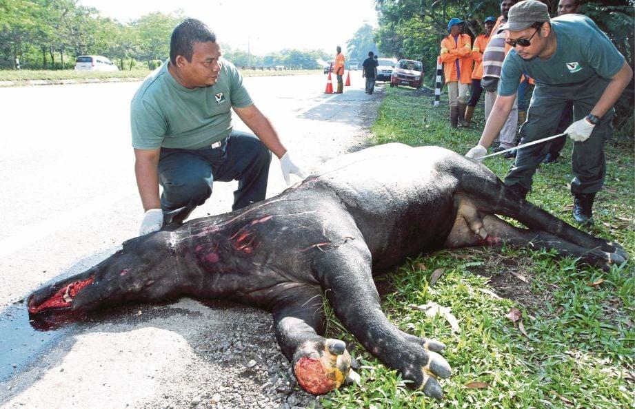 KEMATIAN babit pelbagai haiwan liar termasuk tapir.