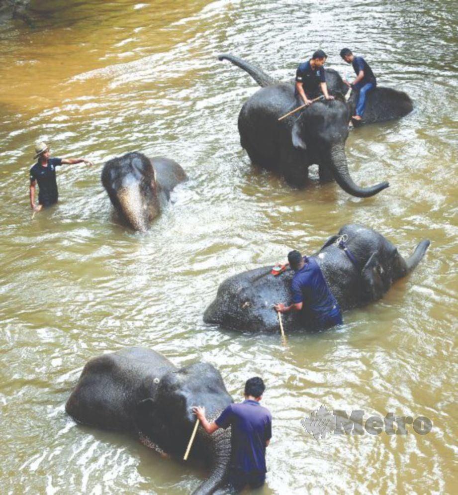 PENJAGA gajah memandikan anak gajah.