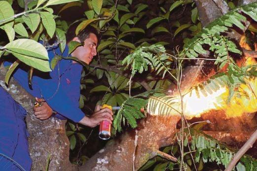 Anggota  JPAM  Melaka Tengah   memanjat pokok nangka untuk memusnahkan  sarang lebah    di Kampung Paya Rumput.
