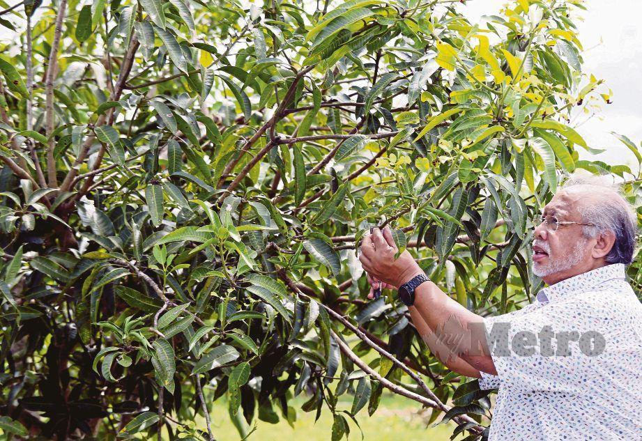 SYED Razlan melihat pokok mempelam harummanis di ladang di Kampung Pokok Jawi Abi, Kangar.