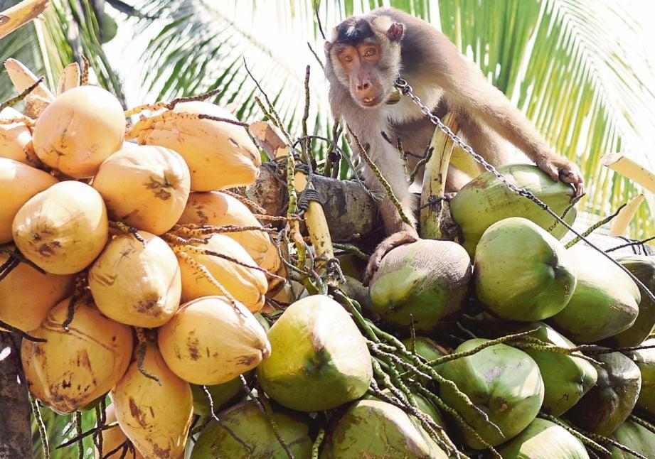 GELAGAT beruk memetik kelapa mencuit hati penonton.