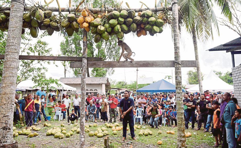 PESERTA mengawal   beruk miliknya  untuk memetik kelapa pada Pertandingan Beruk Pantas Petik Kelapa di Kampung Alur Wan Syed, Marang.