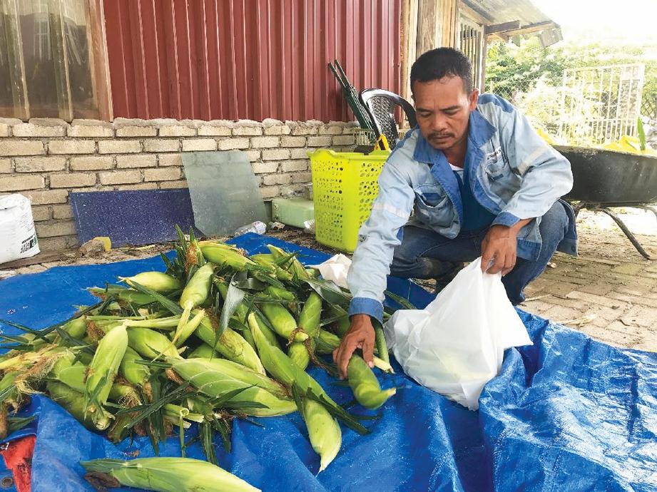 MENGASINGKAN jagung untuk dijual.