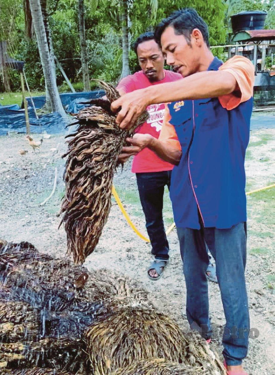 EDDY Rozaimi membersihkan tandan kelapa sawit sebelum digunakan bagi penanaman cendawan volvariela volvace di rumah kakitangan FELDA Lui Timur.