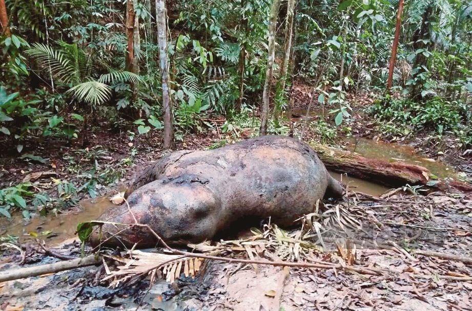 GAJAH yang  dipercayai mati akibat ditembak pemburu haram di Hutan Piah, Gerik pada Mac tahun lalu.