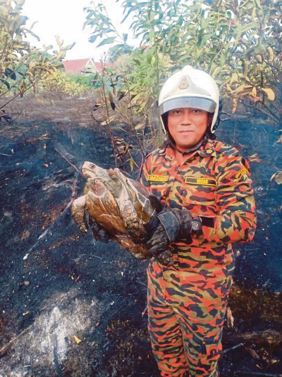 ANGGOTA bomba menyelamatkan kura-kura dalam kebakaran belukar. FOTO Ihsan Bomba
