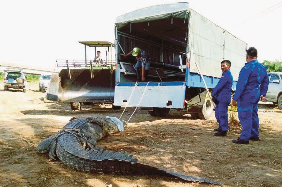 BANTUAN jentolak terpaksa digunakan bagi mengangkat buaya seberat 1,000 kilogram.