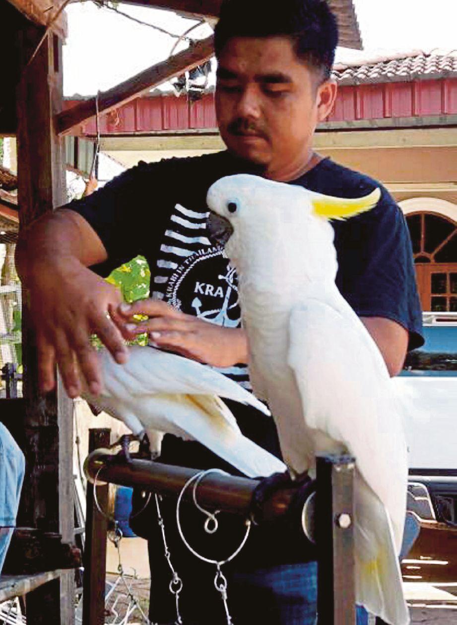 Mohd Aliff membelai burung kakaktua jenis Ducorps dan Medium Sulphur-Crested.