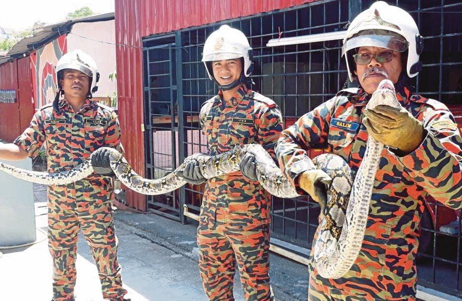 Salim  (kanan) menunjukkan ular sawa seberat 30 kilogram yang ditangkap dan diletakkan di Taman Astakona di BBP Alor Setar.