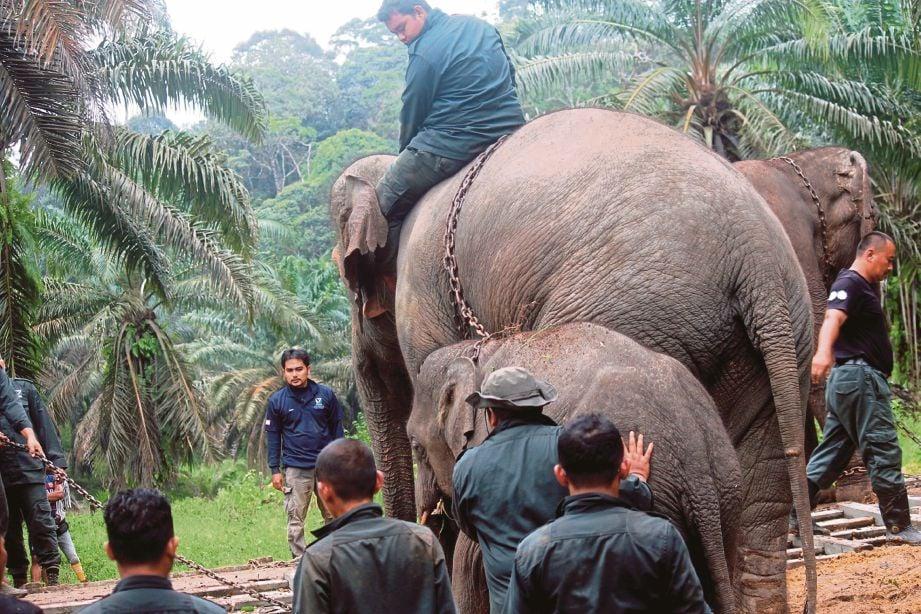 DENAK bernama Abot digunakan untuk menangkap dua ekor gajah.
