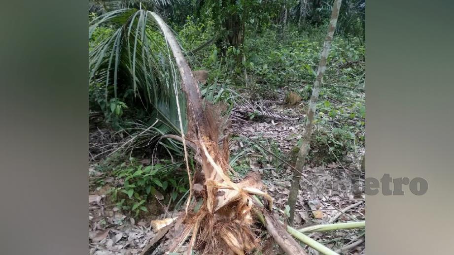 ANTARA Pokok kelapa yang dimusnah beruang. FOTO Ramli Ibrahim