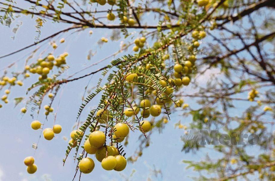 POKOK buah melaka mempunyai kandungan vitamin C paling tinggi. FOTO Ahmad Irham Mohd Noor