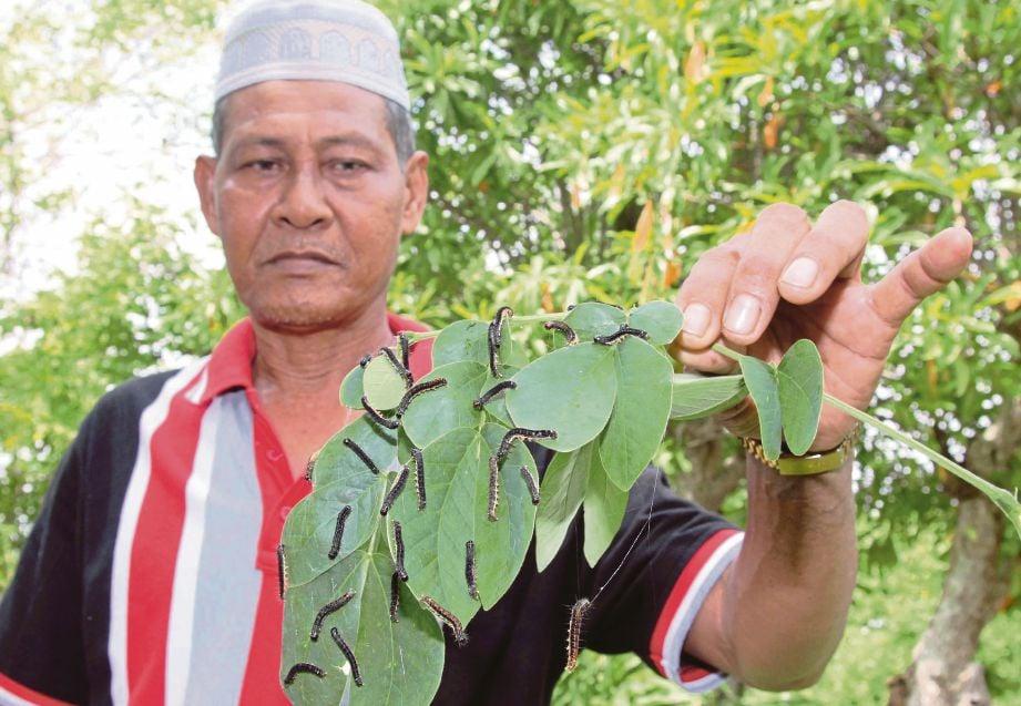 Ku Othman menunjukkan dahan pokok yang dipenuhi ulat di Kampung Kuala Tebengau.