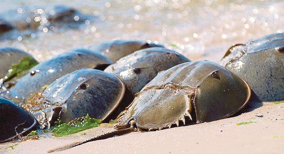 BELANGKAS berkumpul di tepi pantai.