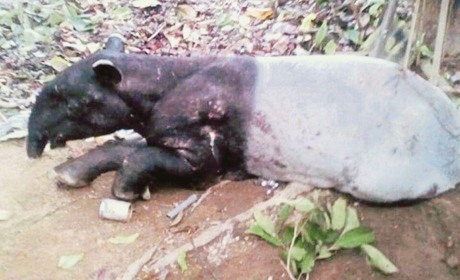 tapir  yang ditemui kesakitan di RKT KESEDAR Jeram Tekoh, Gua Musang.