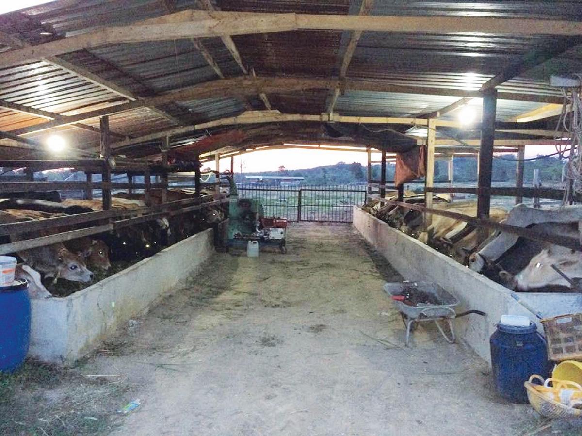 TERNAKAN lembu yang dijalankan secara fidlot.