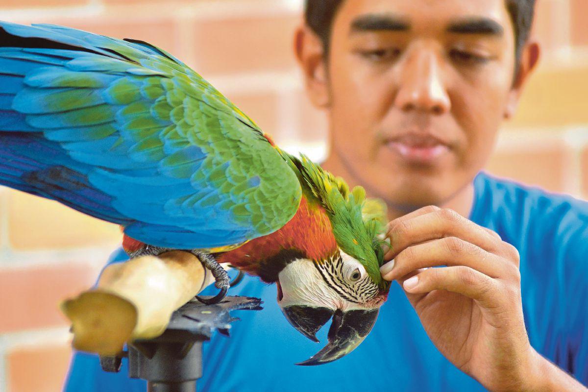 KAKAKTUA Spesies Macaw yang cuba dilatih Syimir Ahmad.