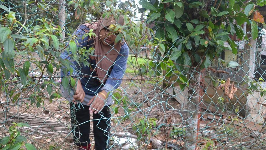 Umi Nadia Suboh terpaksa menjalankan kerja pembaikan pagar yang dirosakkan 'kerbau pendek' di Kampung Sungai Jerneh, Lubok Cina, Alor Gajah. FOTO HASSAN OMAR