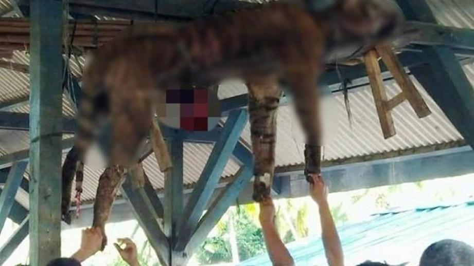 PENDUDUK kampung melihat bangkai harimau Sumatera yang digantung di dewan orang ramai selepas dibunuh. FOTO Jakarta Post