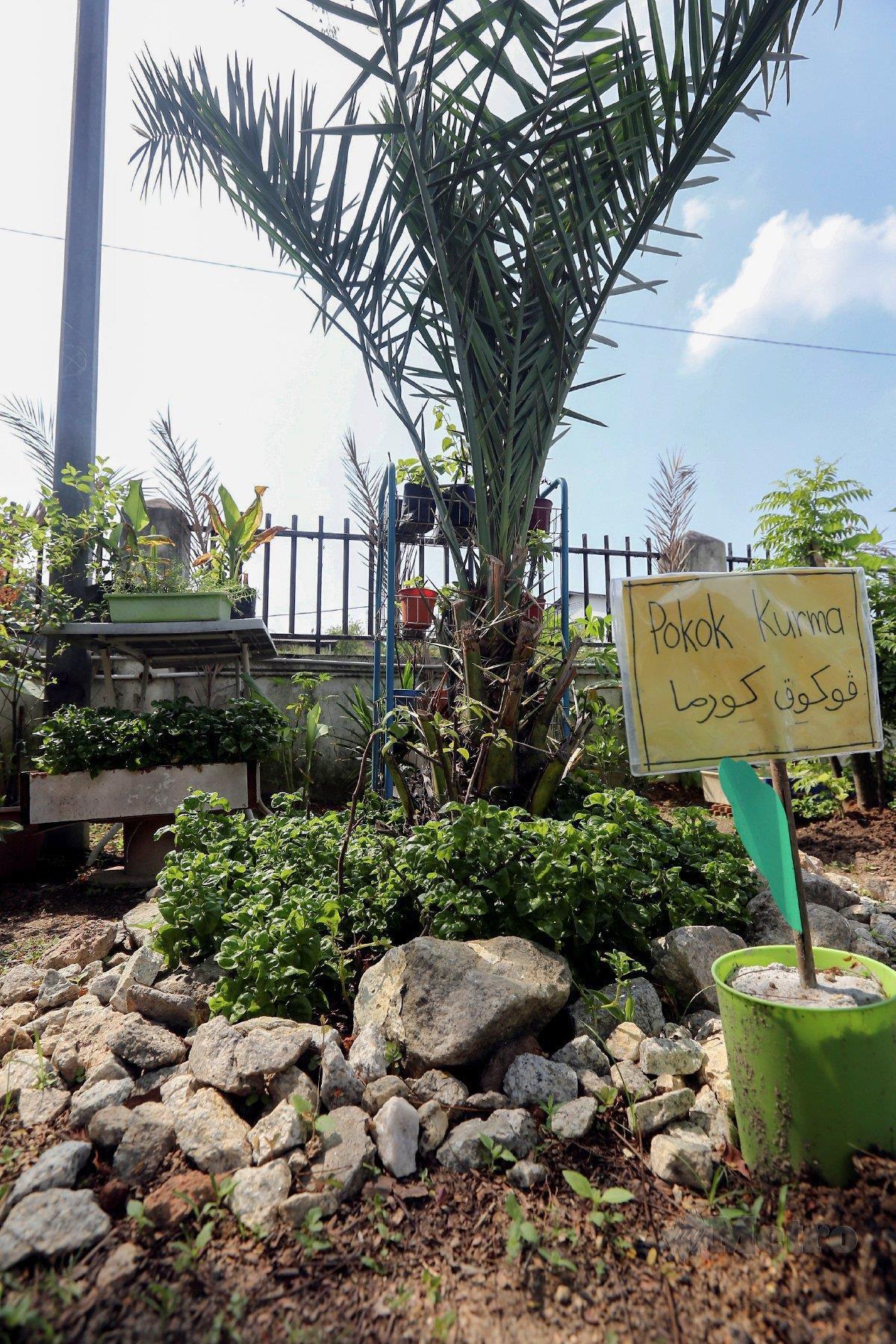 POKOK kurma dirawat semula selain turut ada tanaman bayam brazil di sekelilingnya.