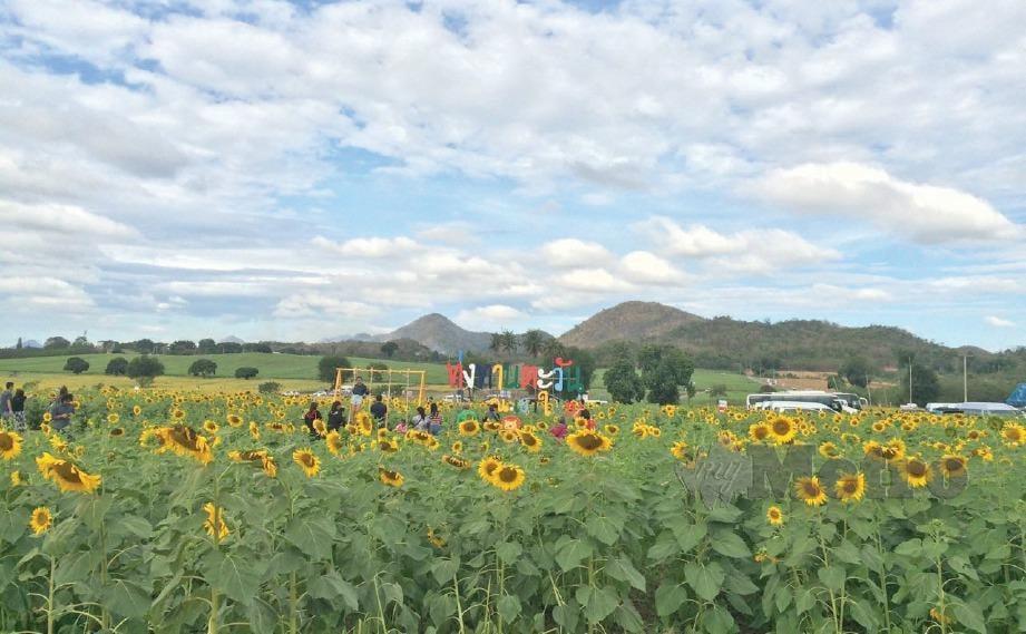 LADANG bunga matahari, saujana mata memandang.