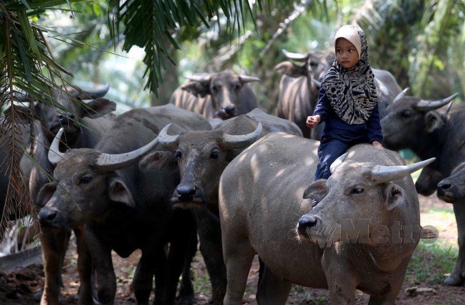 AFINA Aqila bermain bersama kerbau di Kampung Felda Hilir Dua. FOTO MUHD ASYRAF SAWAL