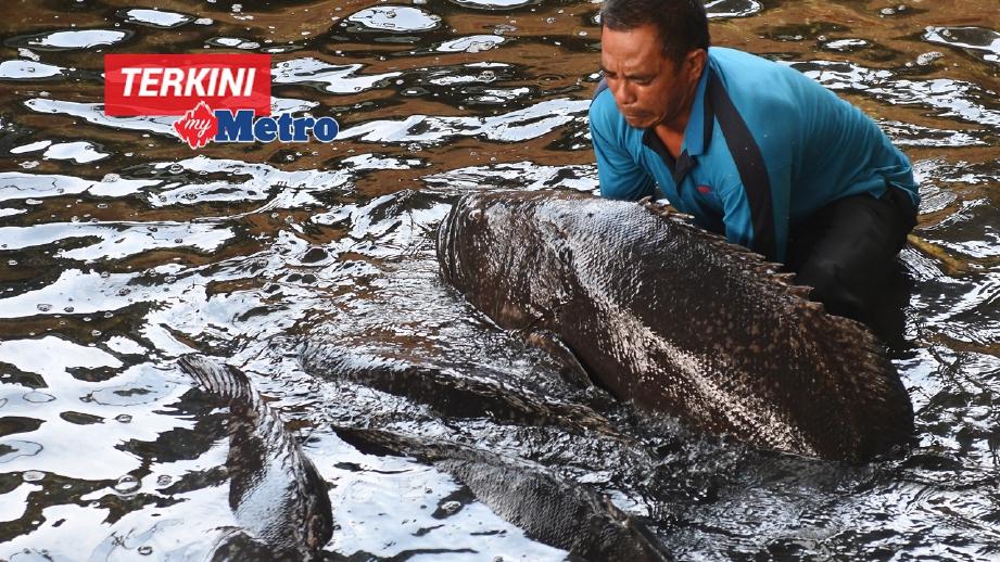 KERAPU Kertang (Giant Grouper) atau nama sainstifiknya Epinephelus Lanceolatus diternak bertujuan untuk menghasilkan benih induk jantan di Institut Penyelidikan Perikanan di Tanjong Demong. FOTO Bernama