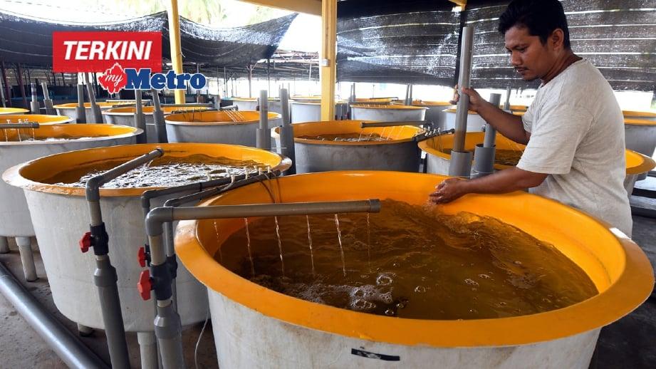 TUAN Fakarudin memeriksa tangki-tangki anak ikan kerapu hibrid di Pantai Air Tawar.