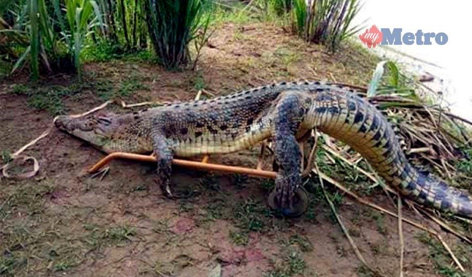 BUAYA yang ditembak ketika 'mendarat' bagi mencari haiwan ternakan penduduk di Sungai Baram, Kampung Dagang. FOTO Ihsan Pusat Maklumat Rakyat Daerah Marudi