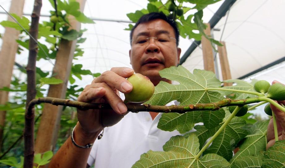 PENGARAH Urusan Fig Direct Sdn Bhd, Robin Lim menunjukkan buah tin di Ladang Chuping, Padang Besar. FOTO Azhar Ramli