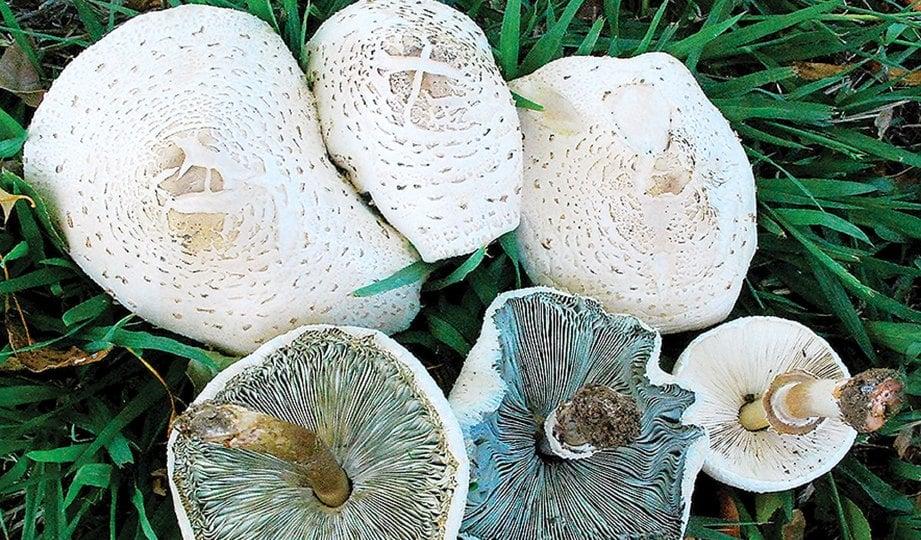 CENDAWAN jenis Chlorophyllum molybdites yang beracun sering kali dijumpai di Malaysia.
