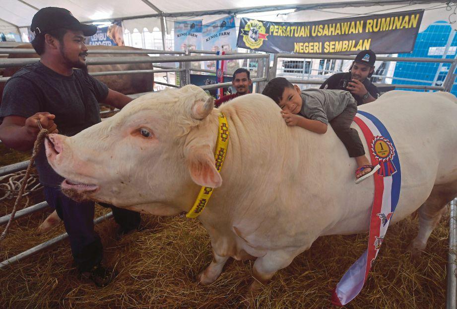 SEORANG kanak-kanak Muhamad Zyyan Zikri Muhamad Bakri,3, tidak melepaskan peluang bergambar dengan 'Gemuk' , lembu baka Charolais Timor berusia 2 tahun satu bulan yang menjadi Johan pertandingan King of  Sado dan pemiliknya memenangi wang tunai RM2,500 pada Hari Peladang, Penternak dan Nelayan Kebangsaan (HPPNK) 2019 di Padang  B, Angsana Johor Bahru Mall, Johor Bahru.